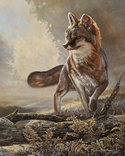 Misty Gray, a print by Marian Anderson, shows a gray fox.
