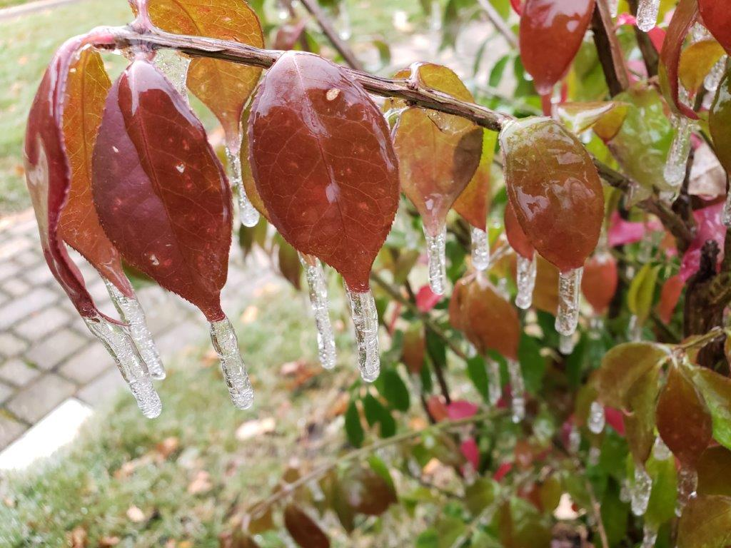 """""""Frozen Water in Living Color"""" icicles forming on red leaves"""
