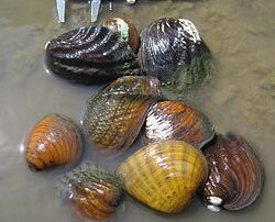 Fresh Water Clams with a ruler to show how big they are